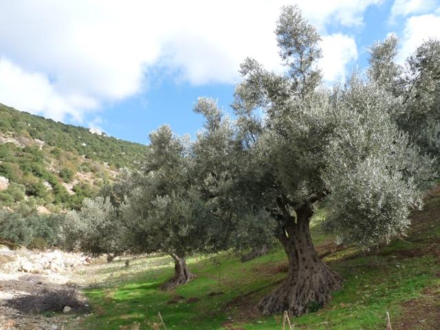 42_olivenbaeume_in_nordjordanien.jpg