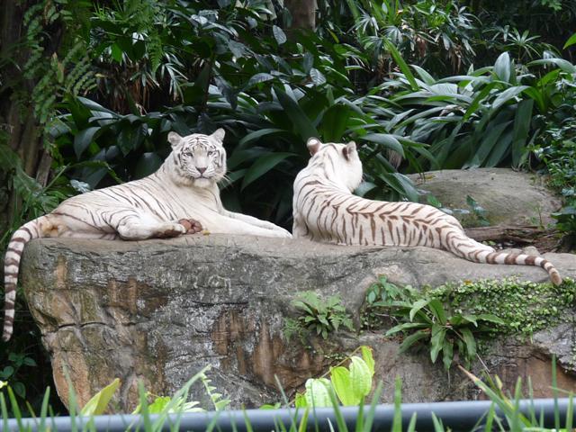 13_weisse_tiger_im_zoo.jpg