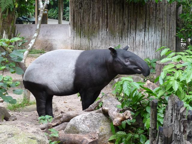 14_tapir.jpg